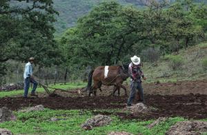Hombres arando la tierra en el rancho de Santa Bárbara, ubicado en la Sierra Alta del noreste de Álamos.